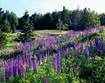 Field of Lupines in Early Morning with Conifer Forest in Background, Trenton, ME