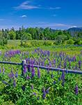 Field of Lupines with Split Rail Fence, Maine Coast Heritage Trust Preserve, Mt. Desert Island, Village of Manset, Southwest Harbor, ME