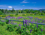 Field of Lupines with Split Rail Fence, Maine Coast Heritage Trust Preserve, Mt. Desert Island, Village of Manset, Southwest Harbor, ME