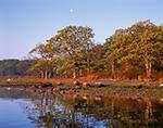 Oaks in Spring along Shoreline of Cedar Island Cove, Mashomack Preserve, Coecles Harbor, Long Island, Shelter Island, NY