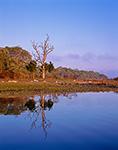 Reflection of Old Oak in Calm Water along Shoreline of Cedar Island Cove, Mashomack Preserve, Coecles Harbor, Long Island, Shelter Island, NY