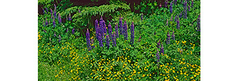 Deep Purple Lupines and Buttercups with Fir Tree in Background, Mt. Desert Island, Tremont, ME