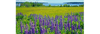 Lupines in Field with Atlantic Ocean and Cranberry Isles in Background, Mt. Desert Island, Village of Manset, Southwest Harbor, ME