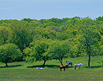 Horses in Meadow in Spring, Martha's Vineyard, Chilmark, MA