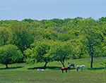 Horses in Meadow in Spring, Martha's Vineyard, Chilmark, MA