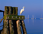 Great Egret on Pier Pilings in Stonington Harbor, Stonington, CT