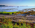Charlock in Bloom at Shoreline of Cove with Boats in Background, North End of Cliff Island, Casco Bay, Portland, ME