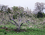 Thought to be Oldest and Largest Commerical McIntosh Tree in New England, Planted in 1912, Red Apple Farm, Phillipston, MA