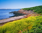 Yellow Wildflowers, Beach and Small Cliff on Upper Flag Island, Maine Island National Wildlife Refuge, Outside Potts Harbor, Casco Bay, Harpswell, ME