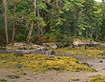 Seaweed on Rocks and Conifer Forest along Shoreline of The Basin off New Meadow River, Casco Bay Region, Phippsburg, ME