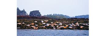 Harbor Seals on Irony Island, Casco Bay, Harpswell, ME