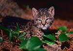 Juvenile Bobcat (Felis rufus), Worcester County, MA