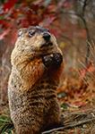 Woodchuck on Hind Legs, (Marmota monax), Bourne, MA