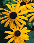 Black-eyed Susans, Fitchburg, MA