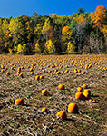 Field of Pumpkins with Fall Foliage in Background, Hatfield, MA