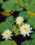 Fragrant Water Lilies (Nymphaea odorata), Phillipston, MA
