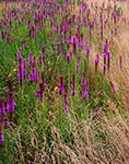 Sun-burnt Grasses and Blazing Star, South China, ME