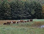 Cattle in Field near Watering Hole, Vershire, VT
