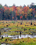Freshwater Marsh with Standing Snags in Autumn Wetlands, Wendell, MA