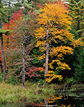 Old Snags and Red Maple Tree in Autumn at Wetlands Edge,  Petersham, MA