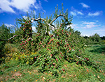 Apple Tree Full of Fruit, Red Apple Farm, Phillipston, MA