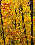 Northern Hardwood Forest in Fall Foliage on Mt. Ascutney, Mt. Ascutney State Park, Windsor, VT