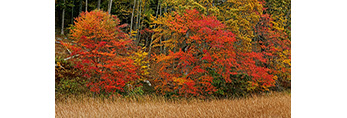 Red Maples along Edge of Cattail Marsh on Lord Creek in Fall, Connecticut River, Lyme, CT