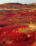 Maine Blueberry Field in Fall, Washington County, ME