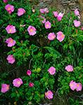 Wild Roses (Rosa rugosa) at Cliff Walk National Historical Walking Trail Newport, RI