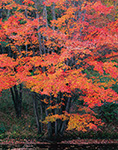 Red Maples in Fall Foliage along Millers River, Royalston, MA
