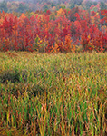 Cattail Marsh and Red Maple Swamp in Fall, Fitzwilliam, NH