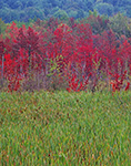 Cattails and Red Maple Swamp in Fall, Fitzwilliam, NH