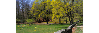 Stone Wall with Maple Trees and Naturalized Daffodils in Bloom in Connecticut Countryside, Lyme, CT