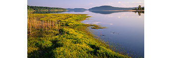 Golden Hedge Hyssop (Gratiola aurea), Shores of Quabbin Reservoir New Salem, Massachusetts