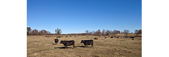 Cattle in Field in Early Winter, Perry County, AR