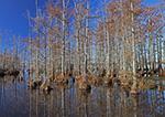 Bald Cypress Trees at Palarm Creek, Lake Conway, Faulkner County, AR