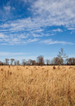 Field of  Grasses under Blue Sky and White Clouds in Early Winter, Lonoke County, AR