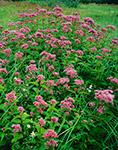 Dense Joe-Pye Weed in Wet Meadow, Royalston, MA