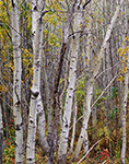 Quaking Aspen Trunks, Acadia National Park, ME