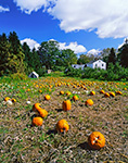 Field of Pumpkins and White Farmhouse in Fall, Red Apple Farm, Phillipston, MA