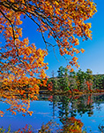 White Oak and Red Maple Trees with Fall Color at Harvard Pond in Late Fall, Petersham, MA