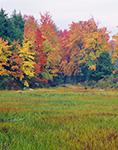 Bur Reed and Woodland Edge in Fall, Templeton, MA