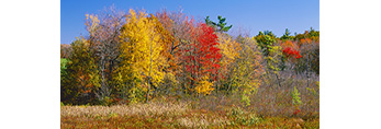 Marsh and Red Maples in Fall Colors, Paxton, MA