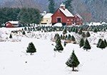 Christmas Tree Farm and Barns in Winter, Springfield, VT
