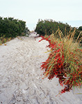 Virginia Creeper and Dune Grass along Path, Corson's Inlet State Park, Strathmere Natural Area, Upper Township, NJ