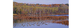 Migrating Canada Geese on Pond in Fall, Brunswick, NY