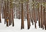 Snowmobile Trail through White Pine Forest, Lake Dennison Recreation Area, Birch Hill WMA, Winchendon, MA