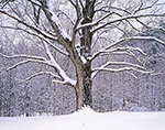 Old Sugar Maple Tree after Snowstorm, Athol, MA