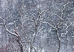 Trees in Snowstorm, Green Mountain National Forest, Readsboro, VT