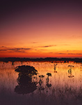 Predawn Light over Red Mangroves and Spike Rush in Wetland Prairie, Everglades National Park, FL